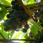 Vinná réva – Daniel Jahn 9