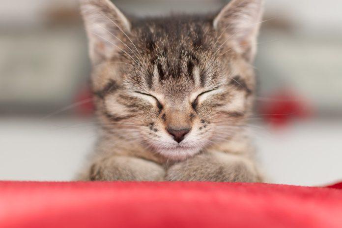 Spokojená kočka, šanta kočičí